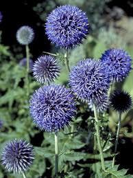 echinops ritro bluestone perennials