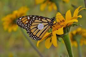 tagged monarch butterfly traveled jersey to florida