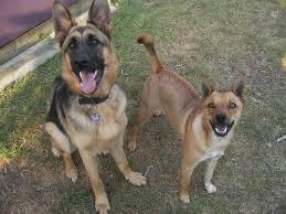 belgian shepherd x staffy my non basenji dogs basenji forums your online basenji