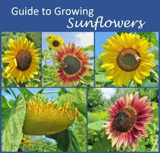 guide to growing sunflowers