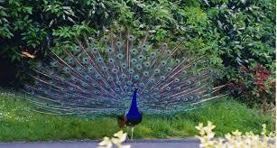 merak biru foto burung merak biru bliblinews com