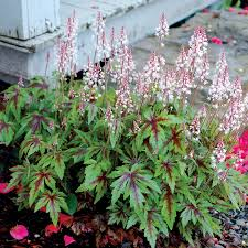 Indoor Spice Garden by Tiarella Sugar And Spice Tiarella Sugar And Spice At Wayside Gardens