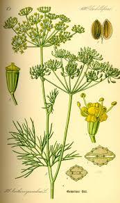 herb dill wikipedia