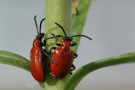 scarlet lily beetle wikipedia
