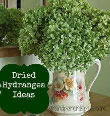 dried hydrangeas dried hydrangea ideas grandparentsplus