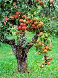 plant a tiny orchard fruit trees hgtv and plants