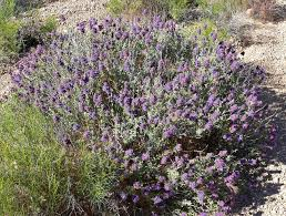 Purple Sage Plant Facts U2013 Tips On The Care Of Purple Sage In