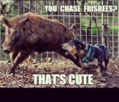 Hog Hunting Memes - wild boar being cornered by dogs hog hunting pinterest