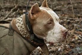 land of giants american pitbull terriers best hunting dogs gun dogs hunting dog breeds field u0026 stream