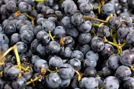 strange facts about thanksgiving 8 surprising facts about concord grapes eat run us news