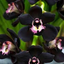orchid flower 100 pcs unique black cymbidium orchid flower seeds ebay