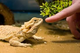 bearded dragons ideal pet