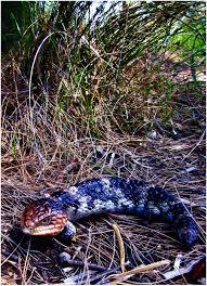 bobtail lizard or goanna also known as a shingleback or u0027bobby