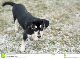bluetick coonhound price adorable blue tick hound puppy mix stock photo image 64275132
