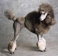 pictures of poodle haircuts the genesis of the poodle hairdo