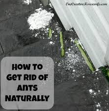 How To Get Rid Of Small Ants In Bathroom One Creative Housewife How To Get Rid Of Ants Naturally