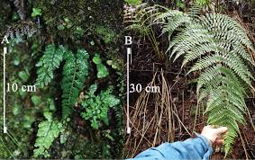 maui native plants maui now new species of fern discovered in remote maui streams