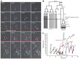 continuous live imaging of neural stem cell division and
