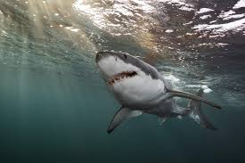 photographer captures images of great white sharks close to home