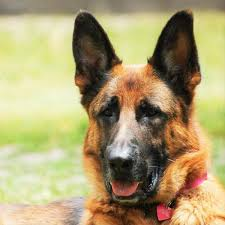 belgian shepherd easy to train tips to train a german shepherd animalwised