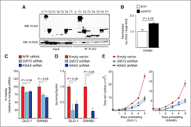 Anti Flag Antibody Hdac6 And Sirt2 Regulate The Acetylation State And Oncogenic