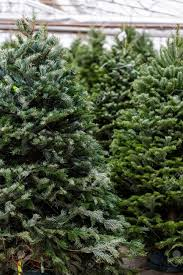 christmas fresh christmas trees beautiful cut at tree farm stock