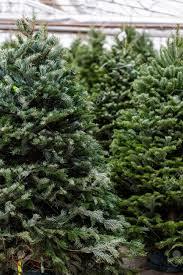 christmas xmas tree post christmas get fresh fragrant buy local