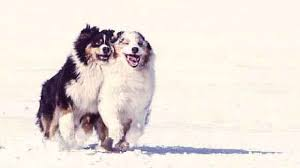 australian shepherd eye diseases australian shepherd breed and health petcarerx