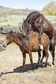 mustangs mating brown horses mating stock photo 182777743 istock
