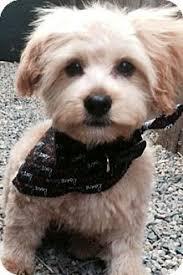 haircutsfordogs poodlemix résultats de recherche d images pour terrier poodle mix