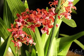oncidium orchid oncidium sharry baby orchid nature