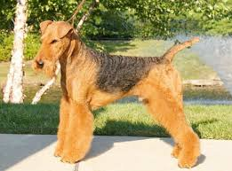 grooming a bedlington terrier puppy airedale terrier grooming bathing and care espree animal products