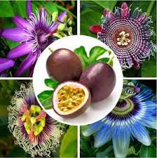 flower fruit 20 fruit seed tropics passiflora seed world