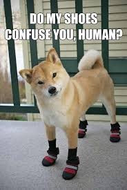 Meme Shiba Inu - shiba inus are many things but mostly weird 30 photos shiba