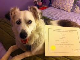 australian shepherd double merle rain earns her cgc u2013 deaf dogs rock