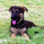 belgian shepherd ears german shepherd u0027s ears not standing up what can i do