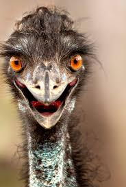 download funny ostrich face wallpaper for desktop mobile phones