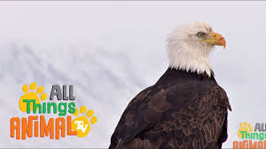 bald eagle animals for children kids videos kindergarten
