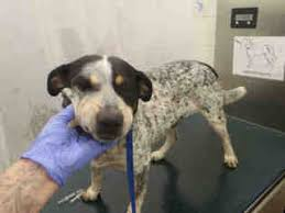 bluetick coonhound in michigan view ad bluetick coonhound mix dog for adoption alabama mobile usa