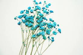 baby s breath flowers aliexpress buy free shipment 100pcs blue baby s breath