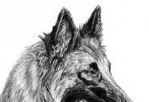 belgian sheepdog art bergamasco sheepdog