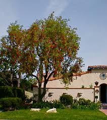 stunning shade trees weeping bottle brush tree