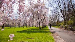 top places to view cherry blossoms at peak bloom in philadelphia in