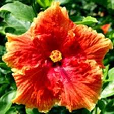 Which State Has A Hibiscus by Top 25 Most Beautiful Hibiscus Flowers
