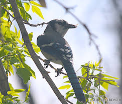 North Dakota birds images Birding in nd jpg