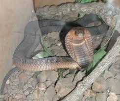 egyptian cobra wikipedia