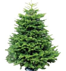 wholesale christmas trees supplier welsh british evergreen