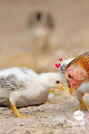 35 best baby chickens images on pinterest baby chickens hens