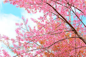 spice up the garden with these popular ornamental flowering trees