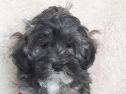 affenpinscher maltese mix lhasa apso dogs and puppies for sale in the uk pets4homes